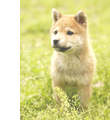 犬の少年期の特徴